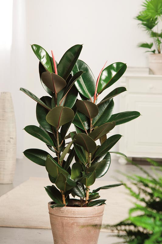 Consulta las distintas especies de plantas de interior en - Ficus elastica cuidados ...