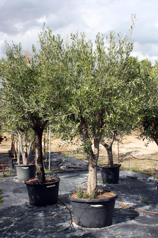 en augusta jard n tenemos ejemplares de olivo de distintas