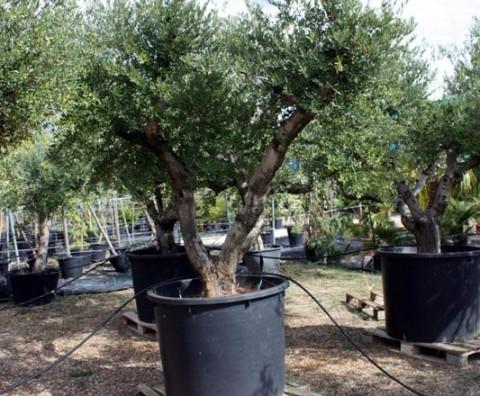 En augusta jard n tenemos ejemplares de olivo de distintas - Olivo en maceta ...